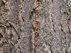 De schors van mijn favoriete boom in het arboretum. Japanse associaties.
