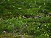 Lelietjes van dalen. de laatste blaadjes blijven nog lang zichtbaar tussen het mos.